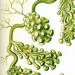 seaweed-63105_960_720