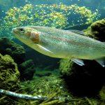 trout-1771142_960_720