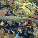 trout-383303_960_720